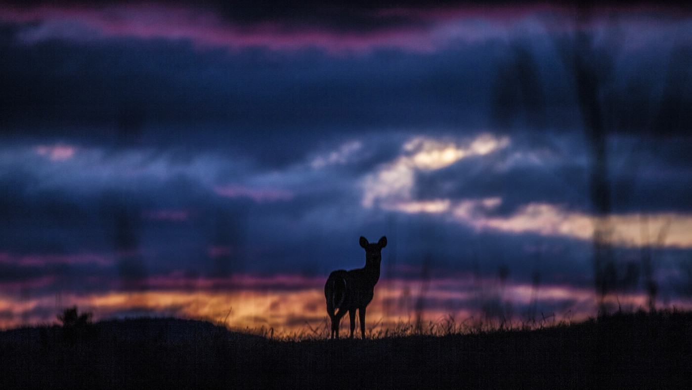 Silhouette of a deer at sunset